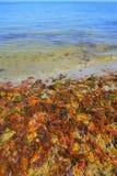Algas vermelhas amarelas coloridas do mar da alga imagens de stock royalty free