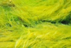 Alge, zeewier Royalty-vrije Stock Fotografie