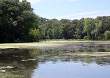 Algea pond in the woods. Pond in the woods with algae on the water Stock Images
