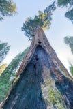 Algemeen Grant Sequoia Tree, het Nationale Park van de Koningencanion Royalty-vrije Stock Fotografie