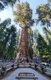 Algemeen Sherman Sequoia Tree Royalty-vrije Stock Afbeeldingen