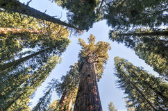 Algemeen Sherman Sequoia Tree Royalty-vrije Stock Fotografie