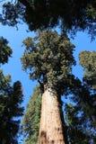 Algemeen Sherman Tree, Sequoia Nationaal Park Stock Foto