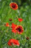 Algemene bloem (Gaillardia-aristata) Royalty-vrije Stock Afbeeldingen