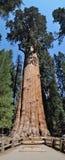 Algemene Sherman, reusachtige sequoiaboom Royalty-vrije Stock Foto