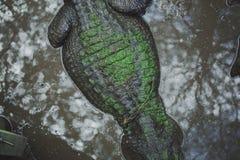 Algen auf Alligator Stockfoto
