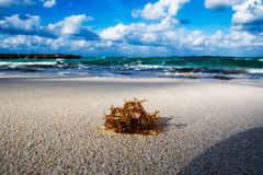 Algen auf dem Strand Lizenzfreies Stockfoto