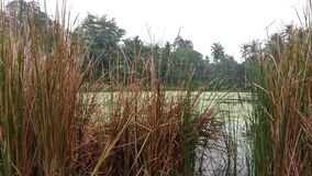 Algen, die auf Teich schwimmen Lizenzfreies Stockbild