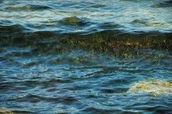 Algen, die durch das transparente Wasser erscheinen Stockbilder