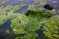 Algen die op water drijven Stock Foto's