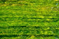 Algen die in rivier groeien Stock Afbeeldingen