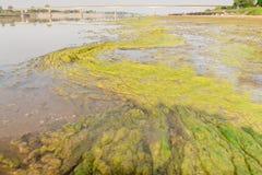 Algen entlang dem Mekong Stockbild