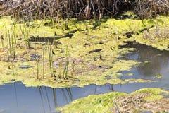 Algen im Fluss Lizenzfreie Stockbilder