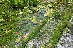 Algen im Fluss Stockfotografie