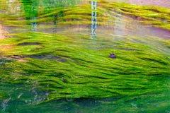 Algen im Fluss Dyle in Löwen, Belgien lizenzfreies stockbild