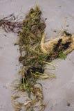 Algen op de kust van de zeekust in de Golf van Riga, Letland, Kurzeme royalty-vrije stock foto