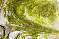 Algen op de rots Stock Foto