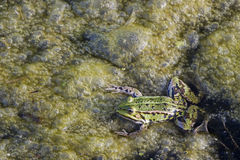 Algen und grüner Frosch Lizenzfreie Stockfotos