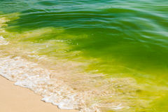 Algenbloei in de oceaan Stock Foto