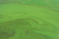 Alger förorenade flodvatten på floden Arkivfoto