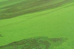 Alger förorenade flodvatten på floden Royaltyfria Bilder