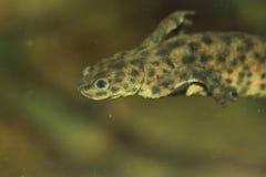 Algerian ribbed newt Stock Photo