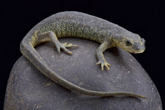 Algerian ribbed newt (Pleurodeles nebulosus) Stock Photo