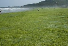 Alghe Fotografia Stock