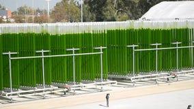 Alghe che coltivano pianta video d archivio