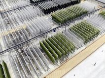 Alghe che coltivano pianta Fotografia Stock Libera da Diritti