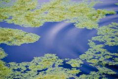 Alghe che galleggiano sull'acqua Fotografie Stock Libere da Diritti