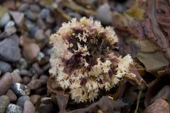 Alghe del mare Fotografie Stock