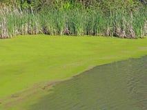 Alghe dello stagno a litorale Cheshire Lake mA Fotografie Stock Libere da Diritti