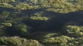 Alghe di galleggiamento viscose e verdi dell'acqua sulla superficie dello stagno Erbacce verdi che crescono sulla superficie dell archivi video