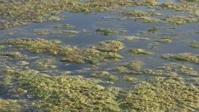 Alghe di galleggiamento viscose e verdi dell'acqua sulla superficie dello stagno Erbacce verdi che crescono sulla superficie dell stock footage