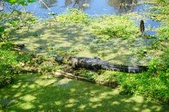 Alghe ed alligatore Immagini Stock Libere da Diritti
