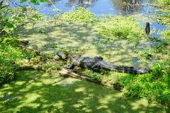 Alghe ed alligatore Fotografie Stock