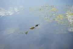Alghe ed alligatore Immagini Stock
