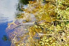 Alghe ed alligatore Fotografia Stock Libera da Diritti