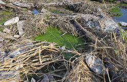 Alghe filamentose in acqua sporca fotografia stock libera da diritti
