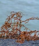 Alghe sulla riva Immagine Stock