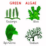 Alghe verdi royalty illustrazione gratis
