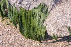 Alghe verdi allegate alla pietra a bassa marea alla riva di mare fotografie stock
