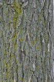 Alghe verdi variopinte sul fondo della corteccia di albero Fotografie Stock