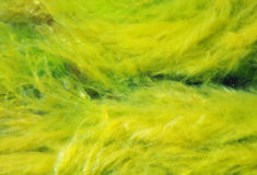 algi gałęzatka Fotografia Royalty Free