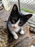 Algo inusual para que gatos sean el preguntarse el mirar fijamente Fotografía de archivo libre de regalías