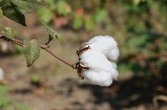 algodão Imagem de Stock Royalty Free