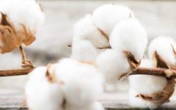 algodão Foto de Stock