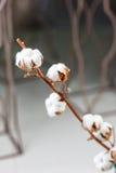 algodão Fotos de Stock Royalty Free
