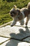 Algodão de Tulear Cão de Bichon fotografia de stock royalty free